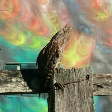 tawny_frogmouth_james_arthur_warren