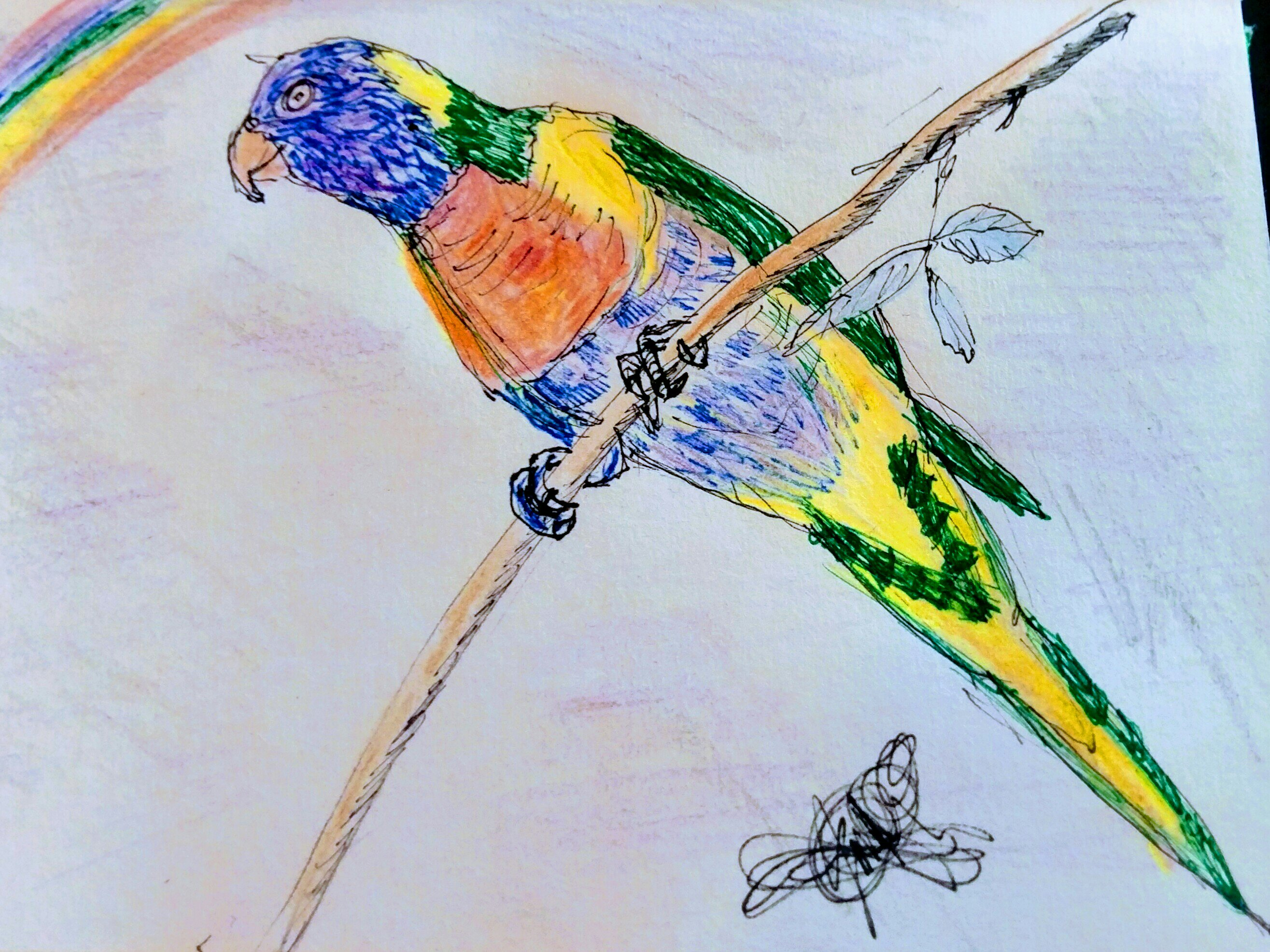 The rise of the rainbow lorikeet drawing