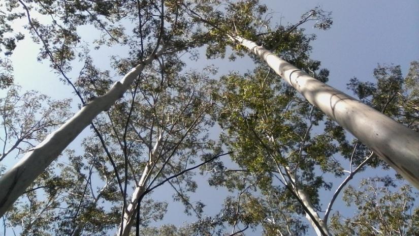 Tall Blue Gum Trees